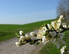 Simply SPRING! (Linda6769) Tags: blue sky tree green field germany spring village blossom path bluesky thuringia blte blauerhimmel weg blooming bloomingtree cloudlesssky poppenwind blhend wolkenloserhimmel blhenderbaum