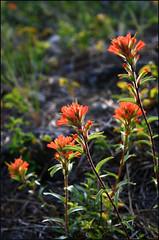 Red Paintbrush (storm light) Tags: red flower scarlet bc okanagan sunny colourful shining paintbrush indianpaintbrush castillejaminiata figwortfamily