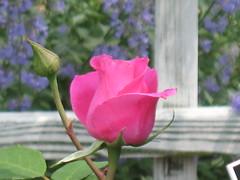 Rose 'Colette'