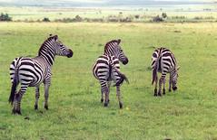 Maasai Mara - Zebras (tik_tok) Tags: 2003 africa travel film nature animal 35mm geotagged nationalpark kenya wildlife safari mara zebra maasai gamepark eastafrica