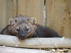 Ecomuseum - Vison - Mink (Humanoide) Tags: canada nature animal mammal montréal quebec montreal québec mink psm vison mammifère ecomuseum écomusée photosafarimontreal psm200507