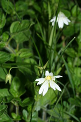 517489835 Stitchwort 2007-05-22_20:26:10 Homefield_Wood