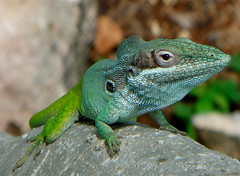 Turquoise Lizard (luns_spluctrum) Tags: green interestingness interesting turquoise sony cuba lizard t9 sonyt9