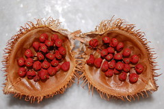 Urucum (bixa orellana) seeds (rticotropical) Tags: trip travel light red brazil vacation macro art texture beach nature strange fruit weird store interesting pod berry colorful different open natural native farm small alien grain harvest tint seeds exotic tropical tropic inside indians stains curious unusual nut paulo yield dye foreign delicate upclose protection fragile rare so bizarre pigment petite core spiny equatorial spore airy cling esoteric internal subtle intricate peculiar frail blotch blemish urucum nestling pome bristly unfamiliar bixaorellana powdery