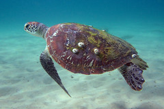 Green Sea Turtle (Dermal Denticles) Tags: ocean sea animal underwater turtle reptile australia queensland noosa seaturtle barnacle greenseaturtle
