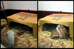 Feeding Time Diptych (Danarah) Tags: wednesday mouse diptych feeding snake may eat 2007 myoffice pliskin 053007