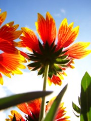 Sunkist (aussiegall) Tags: flowers summer garden perspective upwards sunkist blanketflower gallardia mywinners