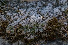 20161207-104802 (Ernst_P.) Tags: 135mm aut botanischergarten frost innsbruck österreich pflanze reif samyang tirol walimex