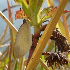 Barred Sulphur   (Eurema daira) (Burnt Umber) Tags: butterfly florida papillon mariposa farfalla ©allrightsreserved spanishneedle palmettobay bidensalba barredyellow pirpinto euremadaira rpilla001
