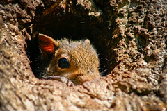Not Sure About Me Yet!!! (mightyquinninwky) Tags: baby tree home squirrels infant nest kentucky orphans bark trunk lexingtonky knothole chevychase fontaineroad digitalcameraclub centralkentucky weened