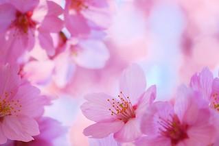 Sakura / 桜 / Cherry