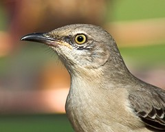 Tennessee State Bird --Northern Mockingbird (Momba (Trish)) Tags: bird birds nikon searchthebest tennessee northernmockingbird nikkor soe mockingbird mimuspolyglottos momba statebird naturesfinest 80400mmf4556dvr nikond200 i500 interestingness293 specnature nikonstunninggallery specanimal avianexcellence march242007 explore11april2007