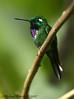 Purple-bibbed Whitetip (Michael Woodruff) Tags: bird birds ecuador hummingbird birding cloudforest hummer subtropics whitetip tandayapa nwecuador urostictebenjamini urosticte purplebibbedwhitetip purplebibbed taxonomy:binomial=urostictebenjamini