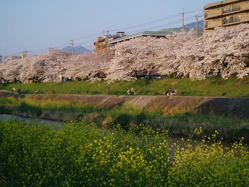 鴨川桜20070409 046