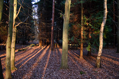 Forest for Trees (stevec77) Tags: wood trees sunset sunshine forest d50 suffolk nikond50 rays rendlesham rendleshamforest