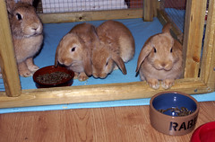 Happy family (Sjaek) Tags: food pet pets cute rabbit bunny bunnies furry sweet eating adorable fluffy rabbits