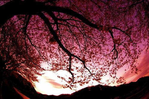 宵夢櫻爛漫乃図 Cherry blossoms Twilight Dream
