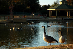 Darrell Almond Community Park (Brian Hathcock) Tags: park water geese utata fall2006 norwoodnc darrellalmondcommunitypark