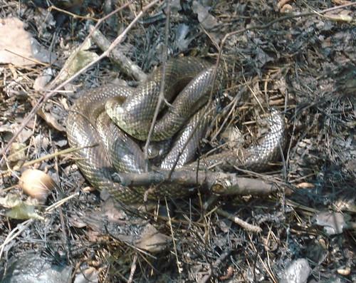 4c-snake1.jpg
