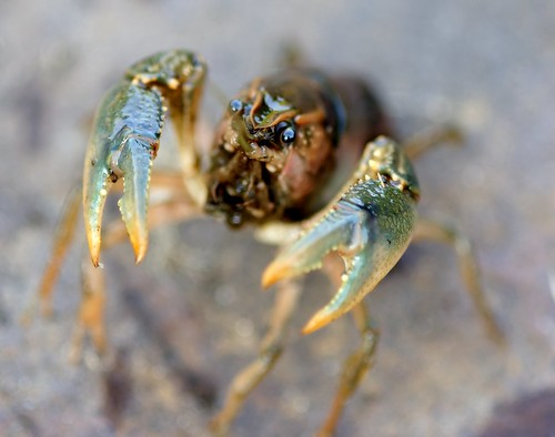 MONSTER!!!! -- wildlife home crawdad crayfish athome monster