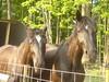 My pretty horses