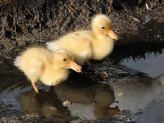 Ducklings (gemzap) Tags: nature birds southafrica ilovenature stellenbosch spier animaladdiction