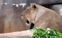 Lion (ovas) Tags: louisvillezoo