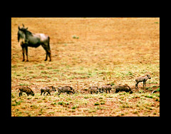 Baby Warthogs & Wildebeest (Edgar Thissen) Tags: africa nature animal kenya wildlife safari wildebeest warthog pgphotography aberdare wildlifephotography edgarthissen wildlifeafrica