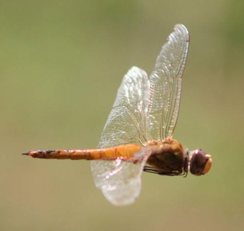 Libélula - Dragonfly 056 - 4 por Flávio Cruvinel Brandão.