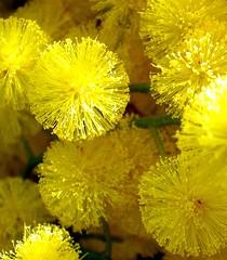 fireworks (loungerie) Tags: flower macro yellow jaune wow garden wonder fireworks loveit amarillo giallo mimosa fiore giardino 4spring