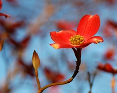 Red Dogwood (Momba (Trish)) Tags: blue red flower beautiful ilovenature spring nikon seasons nikond70 bloom 200views dogwood nikkor momba 2550fave interestingness105 i500 specnature f1025 gtaggroup reddogwood explore11april2006 nikonstunninggallery