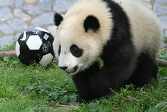 Stick and his soccer ball (somesai) Tags: animal ball panda tian tai disappointed nationalzoo endangered pandas meixiang mouthopen pandacub taishan dczoo butterstick on4
