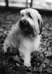 retrato de Tina (briveira) Tags: portrait dog perro pastor catalan eos300 cataln briveiracom
