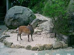 Yakushika deer (naokomc) Tags: 2005 summer yakushima kagoshima yakusugi yakusugiland ceder hiking deer trip