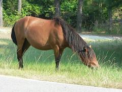 my little pony (mary13) Tags: assateague beach maryland