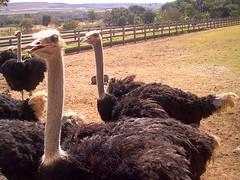 Fazenda de Avestruzes (menta90) Tags: brasilia agosto 2005 avestruz ostrich