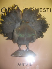Fantail pigeon (dansette) Tags: hornimanmuseum
