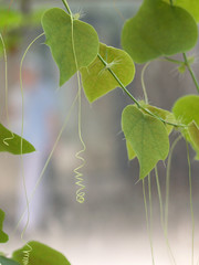 Fragile dexterity (_SMadsen) Tags: nature passiflora passifloraguatemalensis