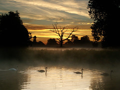 Life and death (Kevin Day) Tags: uk england mist lake 1025fav sunrise dawn peaceful calm swans deadtree slough berkshire kevday langley langleypark rett chtk
