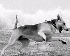 Splash (slight clutter) Tags: blackandwhite bw dog galveston gulfofmexico animal katrina topf50 waves texas hurricane hurricanekatrina iloveflickr splash slightclutter katyahorner slightclutterphotography