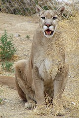 Phantom (9) (SuperDave!!) Tags: 2005 newmexico wonder top20animalpix phantom mountainlion wildliferefuge wildlifewestnaturepark top20fav wwnp superdavenm cdeii