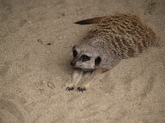 Meerkats - by over.hilowsee