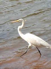 Heron (marlenells) Tags: white lake heron freeassociation topc25 topv111 510fav topv333 walk top20animal i500
