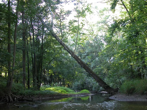 river sycamore tree leaning woods forest country