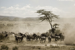 zebra migration (2) (SpAvAAi) Tags: africa tanzania safari zebra migration serengeti
