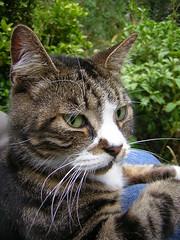 Please help Tabbatha's cousins (zenera) Tags: zenfli nikon garden summer cat tabby tabbatha closeup macro pet animal furry friday soft fluffy pussy whiskers face portrait rescue