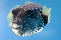 "Hawaii #6 - Spotted puffer fish saying ""hi"" (Mark Interrante) Tags: hawaii oahu underwater fish pufferfish puffer"
