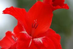 Red flower (hkkbs) Tags: red flower macro nikond70 sweden 100views 400views 300views 200views blomma sverige 500views mygarden westcoast röd västkusten sigma180f35ex sigma180mmf35apomacro