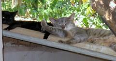 Lazy cats on roof (joaobambu) Tags: 2005 brasil brazil echapora rural interior walkingwithaunt photoseries andandocomtia picasa picasa2 edited gatos cats lazy roof resting meow chacara