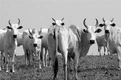curious cattle (joaobambu) Tags: 2005 brazil blackandwhite bw deleteme animals brasil rural wow print countryside interestingness interesting topv555 topv333 saveme looking cattle cows picasa2 deleteme10 farm edited topv1111 stock picasa horns moo pasto personalfav pasture campo horny curious fav staring topf15 khe request meatismurder badjoke bwfilter requested gado drivingwithdad drivingwithdad3 brazilbw nelore requested2
